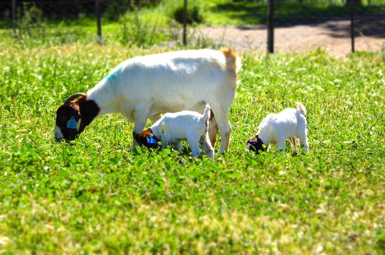 Boer Goat doe with kids at foot
