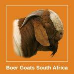 Boer Goats South Africa